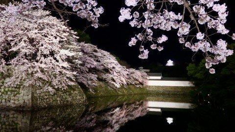 【桜・見頃】国宝・彦根城の桜名所写真