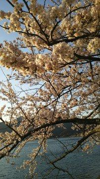 【桜・見頃】海津大崎の桜名所写真