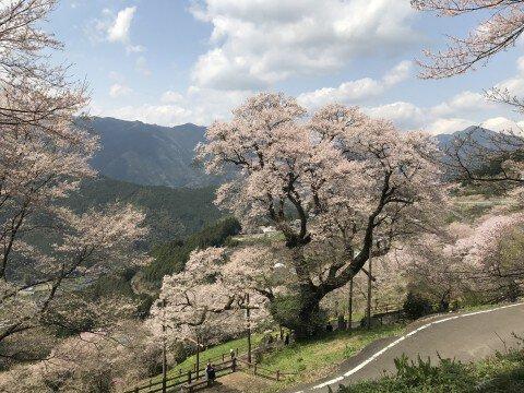 【桜・見頃】ひょうたん桜公園の桜名所写真