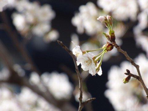 【桜・見頃】目黒川の桜名所写真