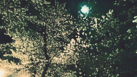 【桜・見頃】羽村堰の桜名所写真