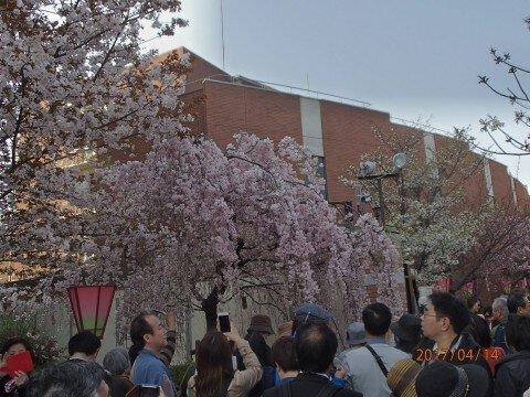 【桜・見頃】造幣局 桜の通り抜けの桜名所写真