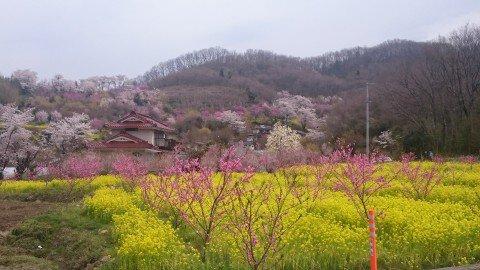 【桜・見頃】花見山公園の桜名所写真
