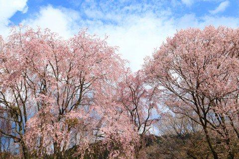 【桜・見頃】吉野山(中千本)の桜名所写真