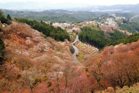 【桜・見頃】吉野山(上千本)の桜名所写真