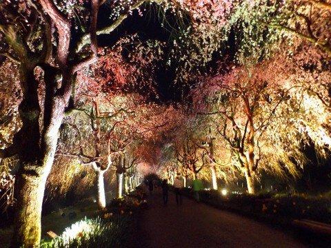 【桜・見頃】京都府・緑化センターの桜名所写真
