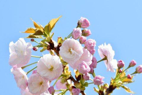 【桜・見頃】新宿御苑の桜名所写真