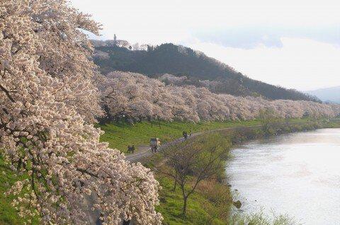 【桜・見頃】白石川堤一目千本桜の桜名所写真