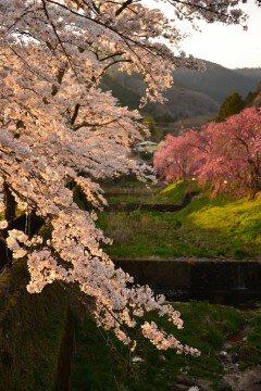 【桜・見頃】宮城野早川堤の桜名所写真
