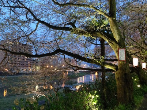 【桜・見頃】足羽川桜並木の桜名所写真