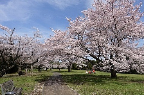 【桜・見頃】泉自然公園の桜名所写真