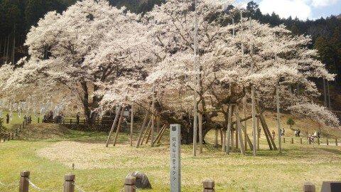 【桜・見頃】淡墨公園の桜名所写真