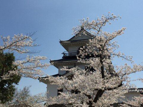 【桜・見頃】益岡公園の桜名所写真