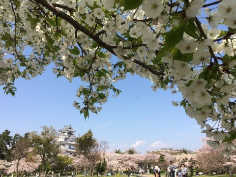 【桜・見頃】豊公園(長浜城)の桜名所写真