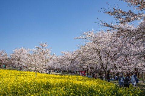 【桜・見頃】赤城南面千本桜の桜名所写真