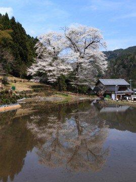 【桜・見頃】苗代桜の桜名所写真