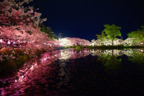 【桜・見頃】茂原公園の桜名所写真