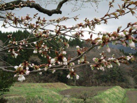 【桜・見頃】尾所の桜の桜名所写真