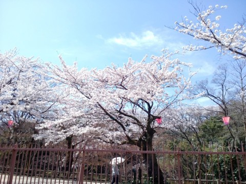 【桜・見頃】高岡古城公園の桜名所写真