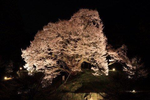 【桜・見頃】佛隆寺千年桜(佛隆寺の古桜)の桜名所写真