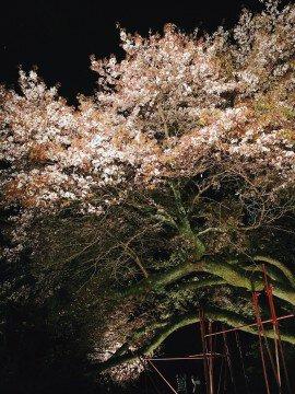 【桜・見頃】浅井の一本桜の桜名所写真