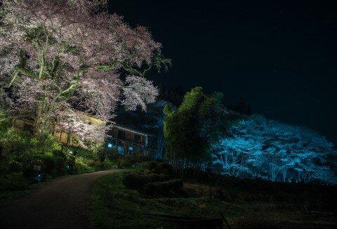 【桜・見頃】新田の桜の桜名所写真