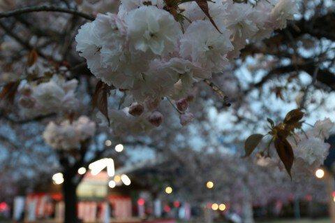 【桜・見頃】天平の丘公園の桜名所写真