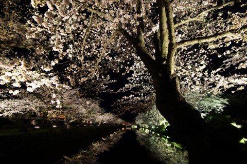 【桜・見頃】松が岬公園の桜名所写真