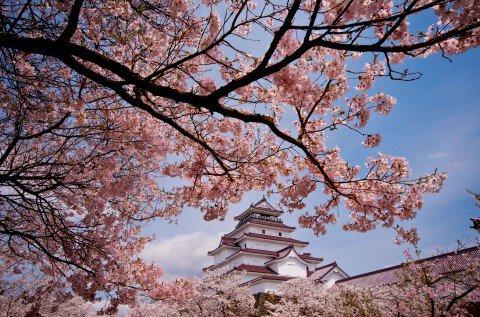 【桜・見頃】鶴ヶ城址の桜名所写真