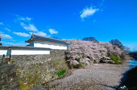 【桜・見頃】霞城公園の桜名所写真
