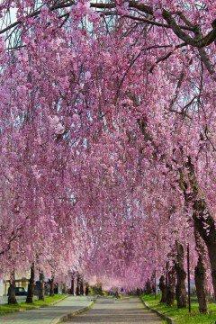 【桜・見頃】日中線記念自転車歩行者道のしだれ桜の桜名所写真