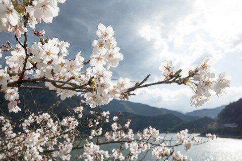【桜・見頃】奥多摩湖の桜名所写真