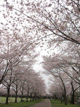 【桜・見頃】忠元公園の桜名所写真