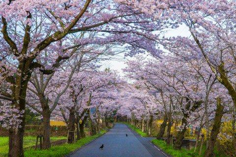 【桜・見頃】太平山の桜名所写真