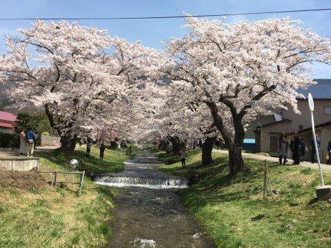 【桜・見頃】観音寺川の桜名所写真