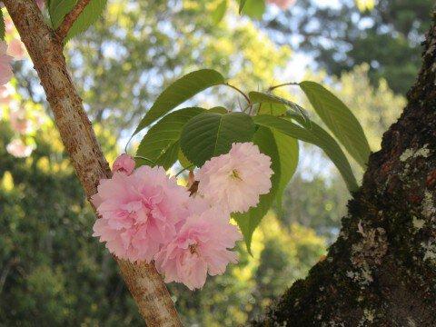 【桜・見頃】志波彦神社 鹽竈神社の桜名所写真