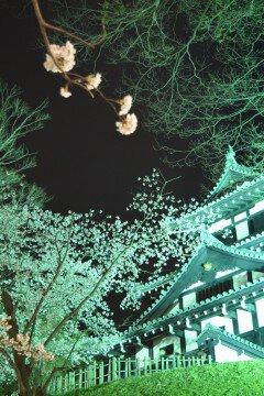 【桜・見頃】高田公園の桜名所写真