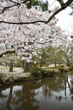 【桜・見頃】特別名勝兼六園の桜名所写真