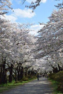 【桜・見頃】北上展勝地の桜名所写真