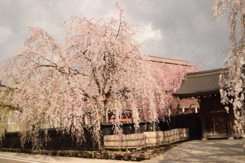 【桜・見頃】武家屋敷のシダレザクラの桜名所写真
