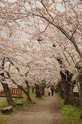 【桜・見頃】桧木内川堤のソメイヨシノ