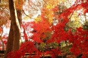 本土寺の紅葉