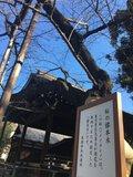 【桜・見頃】靖國神社