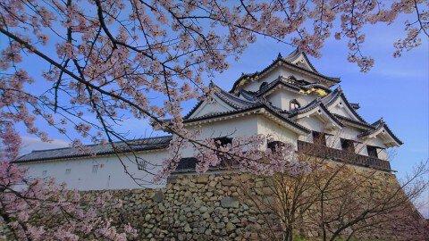 【桜・見頃】国宝・彦根城