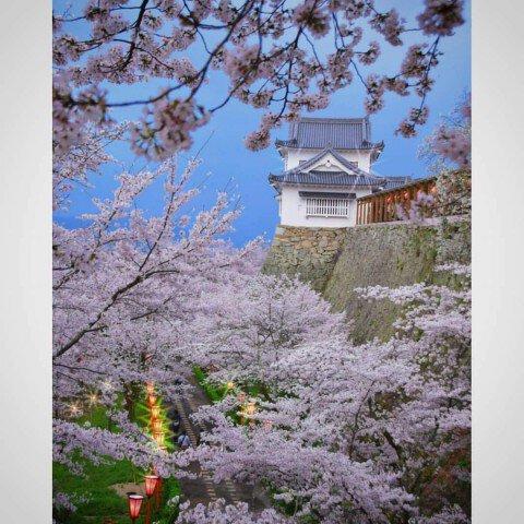【桜・見頃】津山城(鶴山公園)