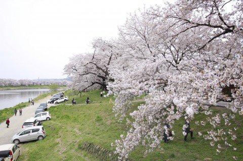 【桜・見頃】白石川堤一目千本桜