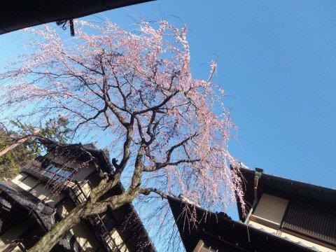 【桜・見頃】清水寺