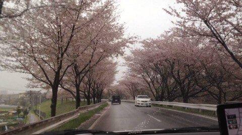 【桜・見頃】新境川堤の桜並木