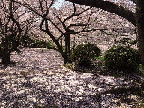 【桜・見頃】種松山公園西園地