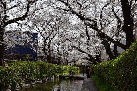 【桜・見頃】二ヶ領用水宿河原